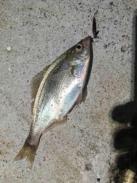 魚について質問です! 今日、釣りに行ってきたんですが、メバルやサバの他に画像の魚も釣れたんです。 だけど、何という名前なのかわからずモヤモヤしてます(´・×・`) どなたか教えてくださいm(_ _)m