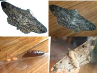 この蛾は何蛾でしょうか? 昨日の日中に羽化しました。 色々調べてみても分かりません(;´д`)  おそらく前回の質問の回答にあったように『シャクガ』だとは思うのですが…    採集場所:東京自宅のベランダで育てているシソのプランター内  幼虫時は緑色(暗色の点々有り)でした。 前足?4本、後ろ足?2本で、胴体中央部には足無し。   詳しくは私の過去質問をご覧いただければ、幼虫の画像あります。...