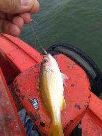 インターネットの魚図鑑に載ってないこの魚の名前、わかりますか?  場所はタイのチョンブリー県、シーチャン島周辺海域。水深5ー20メートルのボトム。 大きさは豆アジより少し大きい程度。 餌無しサビキで入...