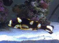 魚に詳しい方、教えて下さい! 一目惚れで購入して飼育している海水魚なのですが、こちらの魚の名前を教えて下さい。