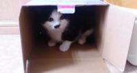 私の愛猫、我が家にタビ姫を迎え入れた初日の画像です。 まだ2ヶ月です。  こんな小さい箱にも入れます(笑) 可愛いかにゃ?