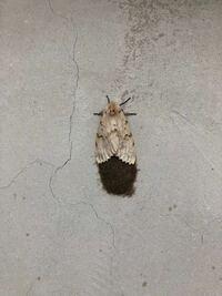 この蛾?らしきものが家の壁に張り付いて1週間が経ちます。 この蛾らしきものの種類と死んでるのかどうか教えていただければ幸いです。