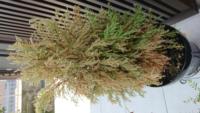 ゴールドクレストという植物の質問です。 ここ最近木が枯れてきてしまいました。 この前の台風で倒れないようにしてたのですが気が斜めになってしまってから枯れが進行してきてしまいました。 木を触るとポロポロ...