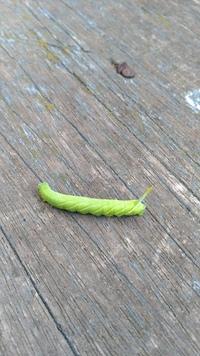 これはモモスズメガの幼虫でしょうか?