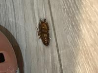 これはゴキブリですか??ゴキブリは触覚が長いというイメージがあったので、、、