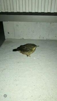 これなんて鳥ですか?親戚の家の玄関の前でじっとしてるまま動かないそうです…