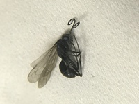 羽アリの様なこの虫に噛まれました。強い痛みを感じました。この虫の名前を教えてください。
