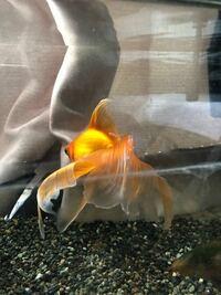 金魚についてです。 昨日金魚の尾ひれにこのような白点が並んでおり、病気かと疑っています。 白点病でしょうか? 塩浴を行いながら現在は様子を見ています。泳ぎ方も特に変ではなく、餌の食いつきも良いです。