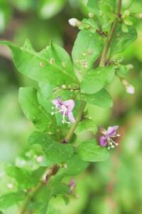 この直径1cm位の薄紫色の小花を付けた植物の名前を教えて下さい。よろしくお願いいたします。