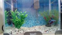 ベタの飼育環境はこれでいいんですかね 餌は5粒ほど フィルターテトラの外掛けフィルター テトラの26度固定ヒーター ジェックスの金魚の砂