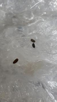 お米の中にこのような黒い粒?が沢山入っています。大きさはお米と同じか少し小さいくらいです。かなり硬く、黒っぽい茶色のような色をしています。一体これはなんなんでしょうか?教えていただ けると幸いです。...