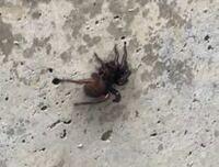 このような蜘蛛が敷地内に居たのですが、毒蜘蛛でしょうか?
