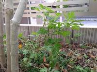 庭の木の根元に、他の木が勝手に生えています。 この木をご存知の方がいらっしゃれば、何の木か教えていただけますでしょうか。