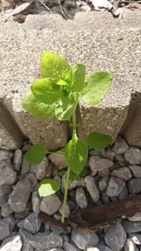 葉っぱ(雑草?花?)について質問です。 添付の写真の葉っぱは何という植物か教えて頂きたいです。 庭の花壇に繁茂しております。 よろしくお願いいたします。
