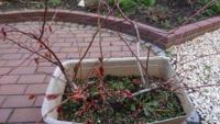 ブルーベリーの枝が木質化してきて、どの枝を剪定すればよいか、わかりません。どなたか教えて下さい。