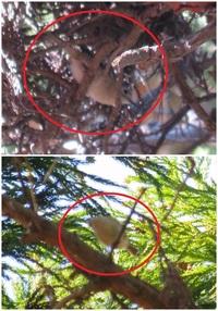 画像最悪ですが、この鳥、まさかのキクイタダキでしょうか? シジュウカラやヤマガラの居る公園で アカマツの上の方をチラチラと飛んでいた小鳥です。  対象の動きが早く、そもそも自分にカメラの腕なんてなく...