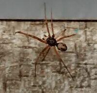 これ!何グモ?毒はある? 蜘蛛(クモ)の種類を教えてください。 会社のロッカーに見たことのないクモがいました。 写真のクモで体長が5mm程度の小さなクモです。 毒があるか無いか等、わかる範囲で教えて...