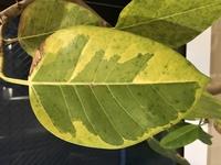 自宅リビングにてフィカスアルテシマを育てています。 最近、上の方の葉っぱが全部落ちてしまい、残っている上の方の葉っぱが写真のような色に変色してしまっています。 どうしたら元気を取り 戻せますか? アドバイスお願いします。