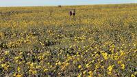 デスバレーって、野生の花の狂い咲きで、ライフバレーという地名に変わるんじゃないかと言われているのは本当ですか?