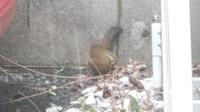 我が家の庭によく来ているこの鳥の名前を教えてください 我が家は猿も見ることが出来る山の麓にあります。