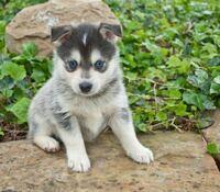 シベリアンハスキーとポメラニアンのミックス犬が可愛いなと思っているのですが飼えるんでしょうか? 下の画像のような耳が垂れ下がっているハスキーが欲しいんです…どの犬種か分かりますか?