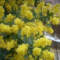 アカシアとニセアカシアにお詳しい方へお伺いをいたします。 ・ アカシア、ニセアカシアにお詳しい方が見れば、花、樹木の違いが分かるものなのでしょうか。 いかがでしょうか。 ・ ・ ・ ・ ・ ※ 画像は...