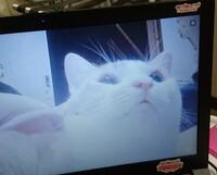 猫について質問します。 猫を室内飼いしている彼女と毎日仕事終わりにLINEでテレビ電話をするのが日課です。 彼女はスマートフォン、私はノートパソコンです。 私は猫と一度も会ったことはな く、テレビ電話越...
