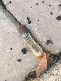ミョウガのプランターから出てきました 何の幼虫かわかる方教えて下さい
