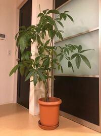 観葉植物を頂いたのですが、育て方、名前さえもわかりません。 分かる方がいたら教えていただきたいです。 よろしくお願いします。