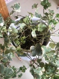 観葉植物のツタが根っこから枯れ始めています。 一ヶ月半ほど前にインテリアショップで購入しました。 日の当たる室内で栽培しています。  先端からは新しい葉も出てきていて、根元に比べる と元気そうです。...