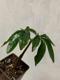 観葉植物、100均だと思います。 頂いたのですが、名前がわかりません。 知っている方おりましたら教えてください。 よろしくお願いします。
