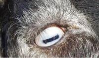 ヤギの目はどうしてあんな怖い形をしているのですか?