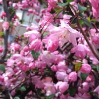 花海棠  桜よりかわいい  蕾の色濃い部分がかわいい  満開よりこのくらいが一番なんじゃ?  と思いますが、見頃はこれからですか?