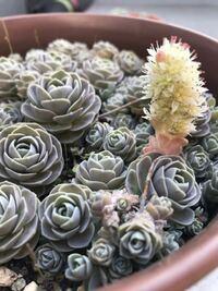 なにこの多肉植物!?!写真みて下さい(ノ∀;`) 子持ち蓮華から、異種?なのが生えてきました。 これはなんていう種類でしょうか!