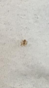 これはダニですか?それか蜘蛛などの他の虫ですか?? 座布団にいました。0.5〜1ミリくらいです。ご存知の方、教えて下さい!