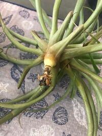 エアプランツの根元について 写真のエアプランツ、チランジア カクティコラを育てています。 古い葉の部分が葉枯があったので安くなっており購入し、半年ほど経っています。 古い葉だからなのか、葉枯れのダメー...
