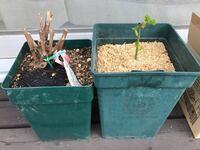 バラ栽培初心者です。 バラの寒挿しが 偶然にも成功したみたいです。  昨年 コガネムシに根を食べられた様だと気が付いたのち 細いベーサルシュートが出て来ました。 小さい鉢に植え替える時にそのシュートを折ってしまい ガッカリして 諦め半分 それを側にあった鉢に挿して一冬越しました(寒冷地です)。 現在 葉が少し広がって来ましたが まだ もう少し小さい鉢に植え替えするのは控えた方が良いでしょうか...