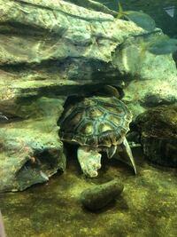 ウミガメ このままだと死んじゃいますか? 画像の通り水族館でウミガメが岩に挟まって 動けない状況でした。  ウミガメって 海面に顔だして 呼吸する事大事ですよね?  このままだと 死んじゃいますよ?