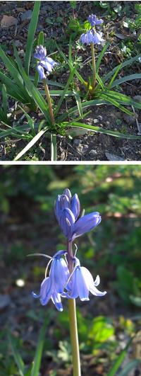 この花の名前を教えてください。 水仙の横に葉の生え方が少し異なる芽が出てきました。 そのまま様子を見ていたら、写真のような青い花が咲いたのですが、なんという名前の花なのでしょうか? よろしくお願いいたします。