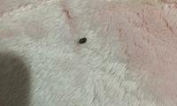 部屋に小さい虫が出て困っています。 黒と白の柄の丸い虫です。飛んだり動いたりしないのですが、何匹か出ました…。 何が原因でしょうか?どこかに沢山いるかと思うと怖いです…対処法わかる方 教えてください!