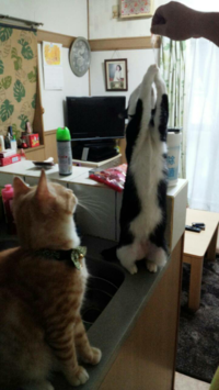 先住猫から離れたくない甘えん坊の茶トラはお仕置きですか?