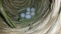 抱卵16日目以降の検卵について。 1つ目の産卵(3月31日)から22日、6つ目の産卵(4月6日)から16日が経過した文鳥の卵。 どのタイミングで抱卵を開始したとしても、もう孵化してもおかしくない日 数が経ちました。 添付した写真を見て頂ければ分かると思いますが、6つのうち4つは有精卵のようです。 しかし、未だに孵化しないのを見ると、中止卵かな…と思います(T_T)  質問は、 ...