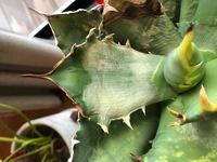 アガベの葉が白くなってきています。(チタノタFO-076)このまま枯れてしまうのではと心配しています。 考えられる病気や原因、対処方法のアドバイスをお願いします。 育てている環境) 常時、室内で管理していますがたまに気が向いたら屋外に出します。 レース越しですが日光にはよく当たります。 水は2週間に1度のペースであげています。 画像右下に見える葉の斑点は購入時からのもので、過去輸入...