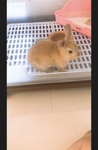 うさぎの種類教えて下さい! 先週からうさぎちゃんを飼っています! 彼が突然飼ってきたので私には種類がわかりません。 3月に産まれたうさぎちゃんです!