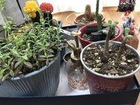 手前の左右2つの多肉植物?の名前が分からないため、教えて頂きたいです。水やりの頻度や花が咲くのか等気になります!