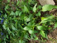 これはなんという植物でしょうか。 とても繁殖力が旺盛で花壇のかなりの部分を占領してしまいました。
