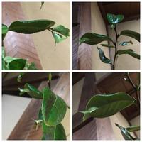 葉っぱの先に葉っぱがある植物についてです。  訪問先のお宅の花瓶に、葉っぱの先からまた葉っぱが生えている植物が飾ってありました。 葉の裏を見ると真ん中の軸?のところから新しい葉が生 えてきているよう...