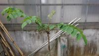 しつもんです! 園芸センターに売ってる トゲなし たらのたらの芽は うまくないので 天然の トゲありのたらの木を 2月位に 採ってきて 庭に 植えました  根着いたようです これから先 うまい手入れの 仕方教えてください たらの木は 肥料を あまりやり過ぎ(化成肥料) は 良くないと聞きました これから先 うまい手入れを 教えてください トゲは 爪切りで 切ちゃいました!