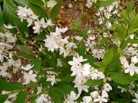 この白い小さな花をたくさん付ける植物の名前を教えてください。