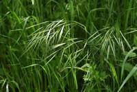 イネ科の植物だと思いますがこの植物の名前を教えてください。よろしくお願いいたします。